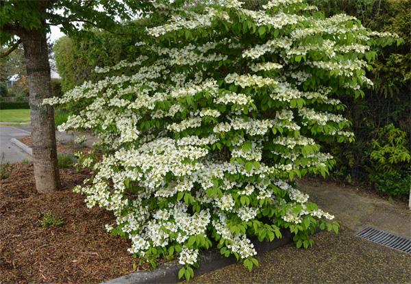 Viorne de chine viburnum plicatum joli arbuste floraison blanche - Arbuste fleurs blanches feuillage persistant ...